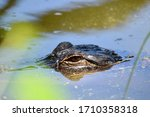 Young Alligator Lurking In The...