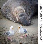 Pair Of Seagulls On California...