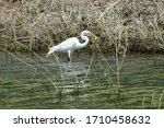 A Solitary White Egret Wading...
