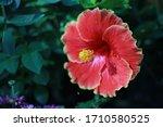 Beautiful Gumamela Blooms In...