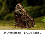 A Blue Morpho Butterfly Sits On ...