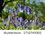 Close Up Of Wild Bluebells In...