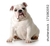 Cute Puppy   English Bulldog...