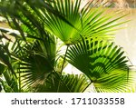 Borassus Flabellifer Sugar Palm ...