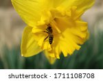 Bee On Yellow Daffodil With...
