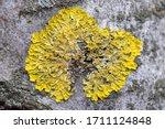 Hypogymnia Physodes And...