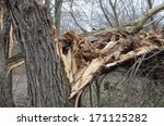 Broken Old  Willow Tree Trunk
