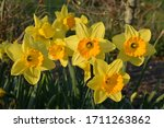 Daffodils Or Narcissus. Name...