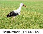 European White Stork Passing...
