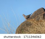 Bush Dove Sitting On Big Rock...