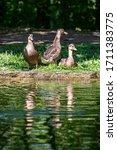 Three Ducks On A Riverbank In...