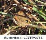 Buckeye Butterfly In Green...