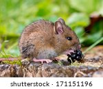 Wild Wood Mouse Eating Blackberry - stock photo