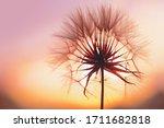 Dandelion At Sunset . Freedom...