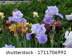 Three Violet Flowers Of Irises...