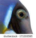 close up of a powder blue tang... | Shutterstock . vector #171203585