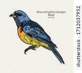 The Blue And Yellow Tanager Is...