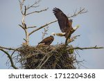 Bald Eagles Parents Securing...