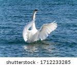 A Single White Mute Swan ...