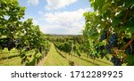 Vineyards With Grapevine For...