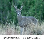 A Mature Coues White Tailed...