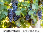 Large bunches of ripe red wine grapes hang from old vines in the Riverland wine region in South Australia