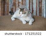 Siamese Cat In A Cone Lie...