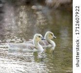 Canada Goose Goslings Swimming. ...