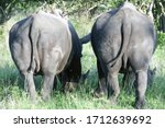 Two Rhinos Graze With Their...