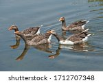 Small Flock Of Wail Greylag...