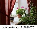 Geraniums And Other Indoor...