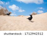 Two Black Crows On The Sand...
