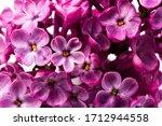 Flowering Purple Branch Of...