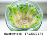 Growing Green Onions Scallions...