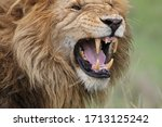 Close Up Of The Lion With A...