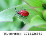 The scarlet lily beetle  red...