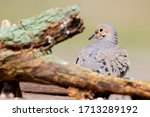 Mourning Dove Portrait Behind...
