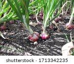 Onion Plants With Matured Bulbs ...