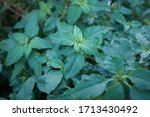 Amaranthus Retroflexus Plants...
