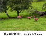 Small photo of Sweden, around Dorotea, a herd of deer in a meadow