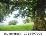 Magical Endemic Laurel Trees In ...