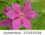 Flowering Pink Clematis ...