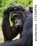 Sad Chimpanzee Bonobo   Pan...