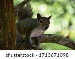 A Florida Gray Squirrel In A...
