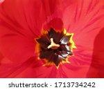 red tulip closeup...   Shutterstock . vector #1713734242
