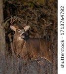 White Tailed Deer Buck Wetting...