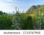 Grape And Apple Fields In Eppa...