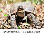 Gopher Tortoise Trying To Snack