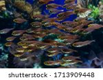 Shoal Of Small Tropical Fishes...