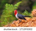 Hawaiian Red Crested Cardinal...
